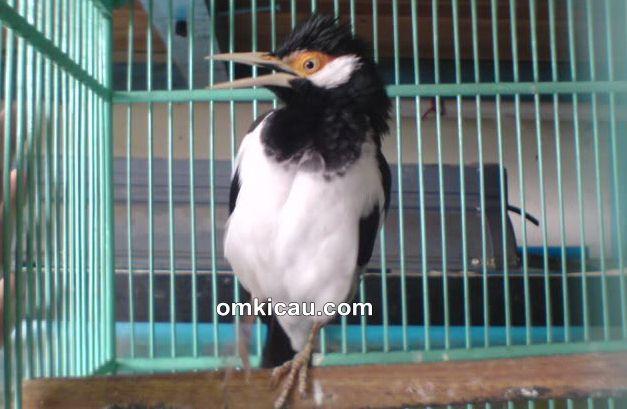 Mengetahui penyebab dan solusi atasi burung jalak suren patuki kakinya sendiri