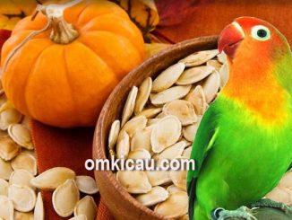 Biji labu yang memiliki segudang manfaat untuk burung kicauan