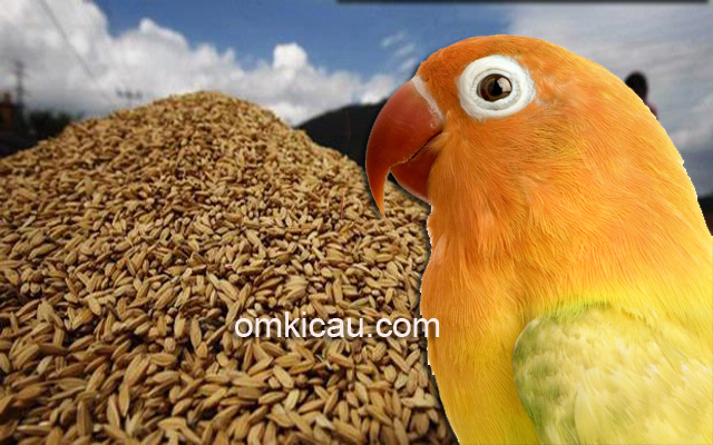 Manfaat gabah untuk burung lovebird