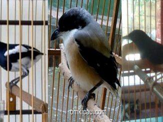 Tip merawat burung yang bondol ekor