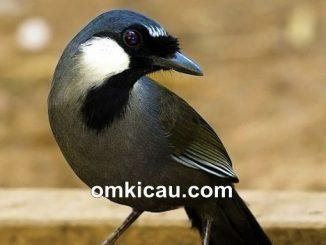 Tips memiliha dan membedakan jantan betina burung poksay hongkong