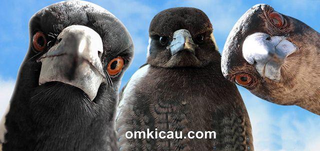 TIps perawatan burung jagal papua
