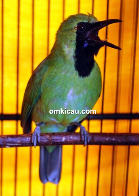 Cucak hijau Cakil