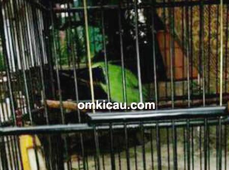Cucak hijau Romeo