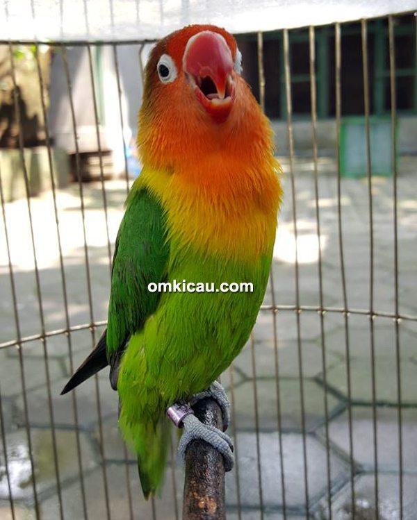 Lovebird Ayumi milik Om Mohan