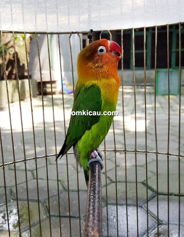 Lovebird Ayumi