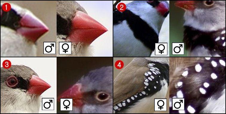 cara ternak burung finch
