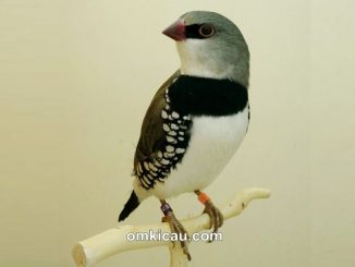 Diamond firetail finch atau diamond sparrow