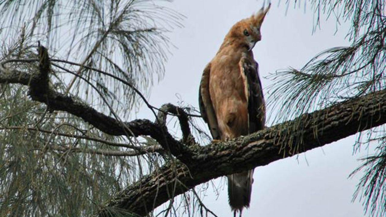 Burung Garuda Burung Gagah Yang Terancam Punah Om Kicau
