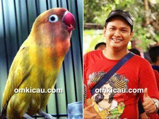 cara merawat burung lovebird juara