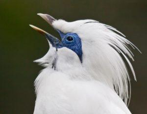 gambar burung jalak bali