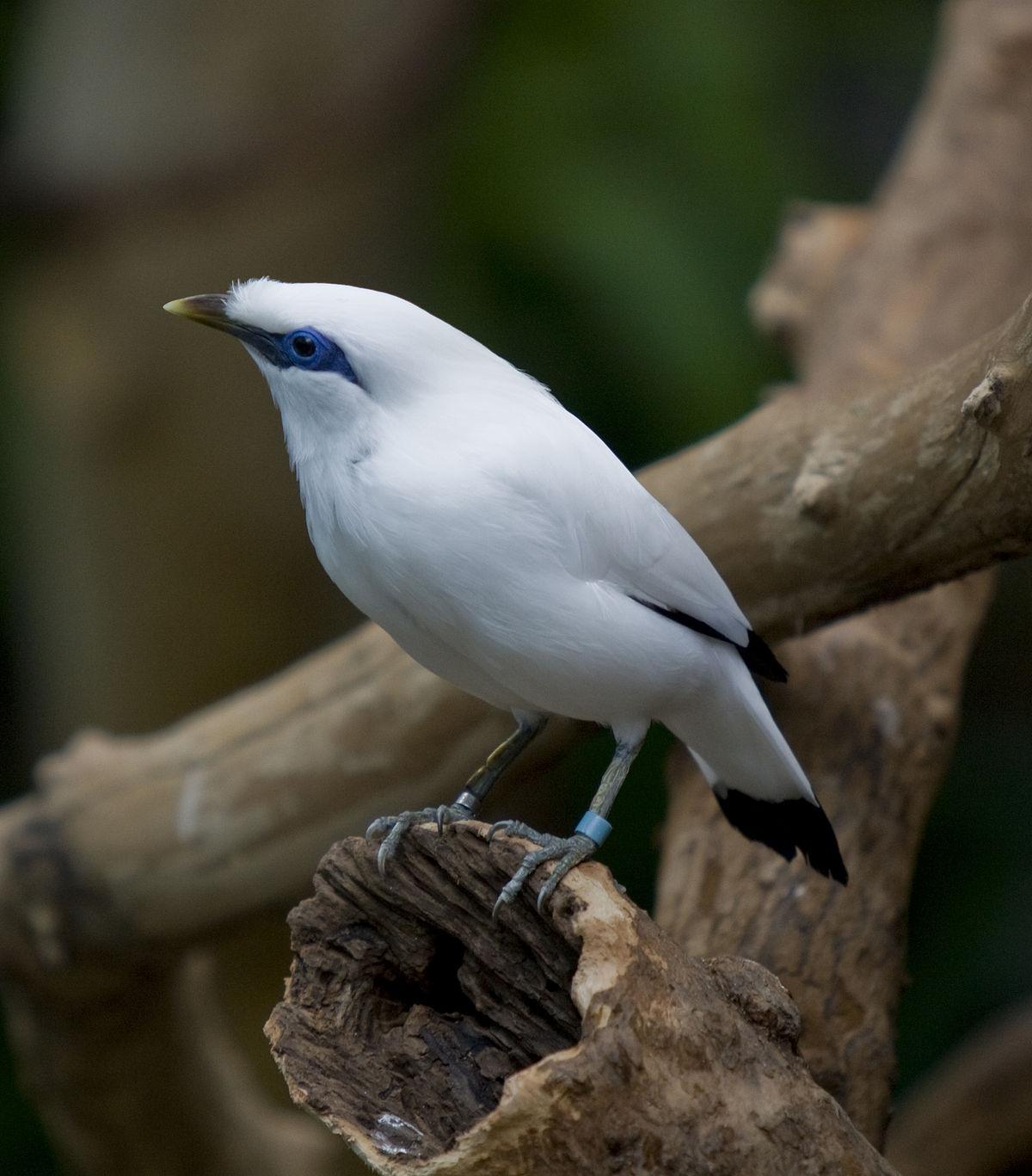 gambar gambar burung jalak bali