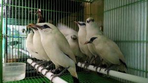 contoh gambar burung jalak bali