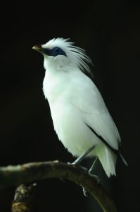 gambar foto burung jalak bali