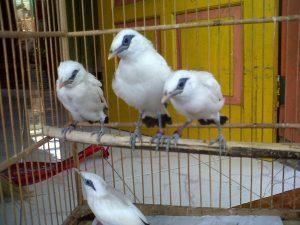 gambar anakan burung jalak bali