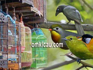 Harga burung kicauan non lomba di Jabodetabek