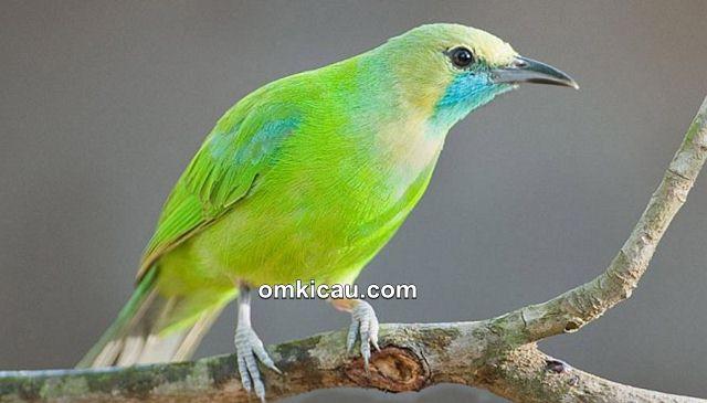 Penampilan burung jerdon's leafbird betina