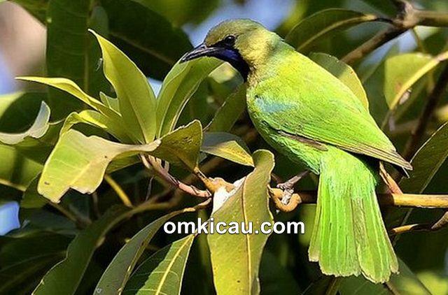 Jerdon's leafbird yang berasal dari India dan Sri Lanka
