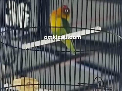 lovebird purwokalong