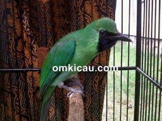 harga burung cucak hijau