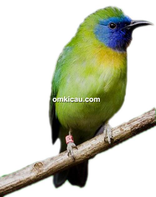 cara ternak burung kinoi