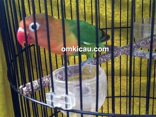 lovebird 2 Nonom