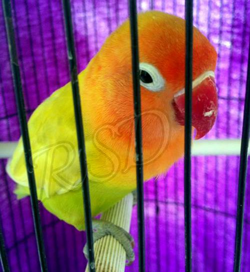 breeding lovebird trah kekean