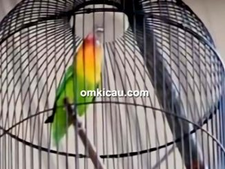 Lovebird Marco