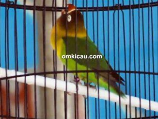 lovebird Prita