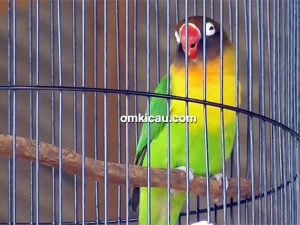 lovebird Sak Masek
