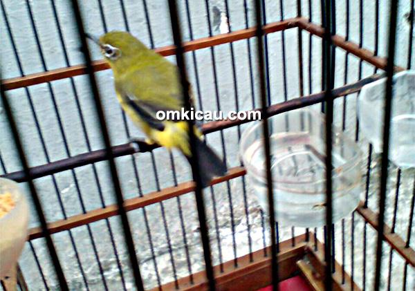 perawatan burung pleci Marley