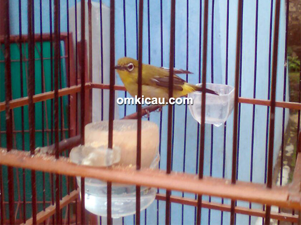 perawatan burung pleci