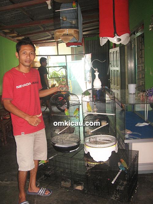 breeding lovebird cokroningrat