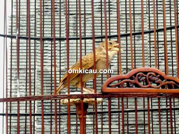 perawatan burung branjangan kombat