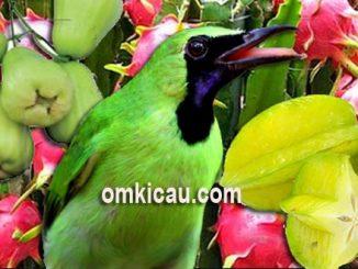 Buah-buahan untuk turunkan birahi burung cucak hijau