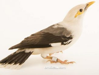 Burung jalak tunggir-abu yang sebelumnya masuk dalam sub-spesies jalak putih