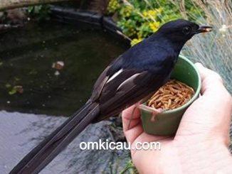 Merawat burung tanpa voer dianggap bisa membuat penampilan burung lebih maksimal