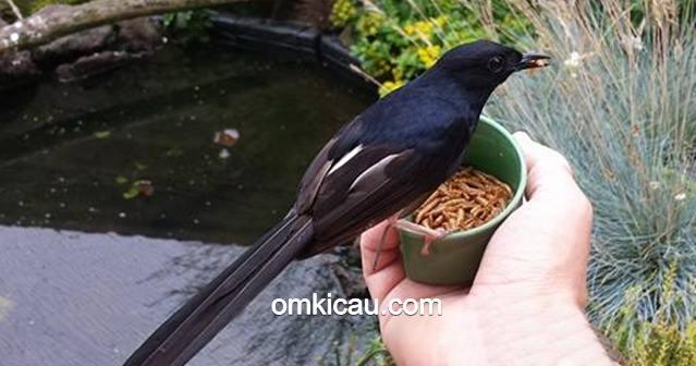 cara merawat burung tanpa voer