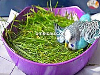 cara melatih burung parkit agar mau mandi