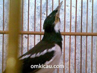 Burung yang terlalu giras dapat dibuat jinak dengan terapi lapar