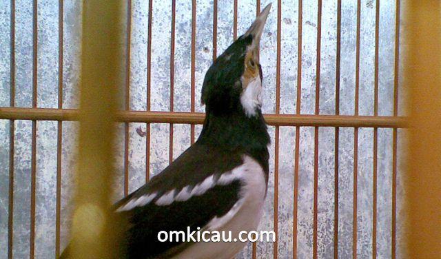 mengatasi burung jalak juren bersuara monoton