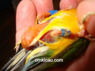 Kegemukan yang terjadi pada burung kenari