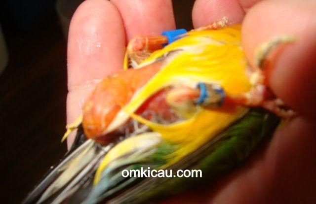 cara mengatasi burung gemuk