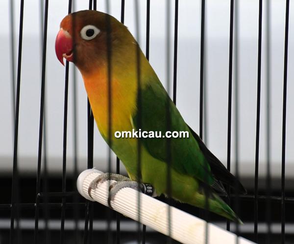 lovebird Haruka