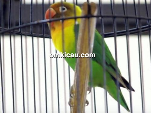 lovebird Slebor