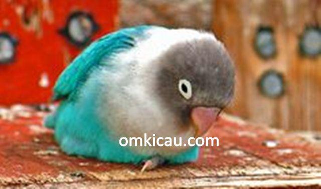 mengatasi burung lovebird lumpuh