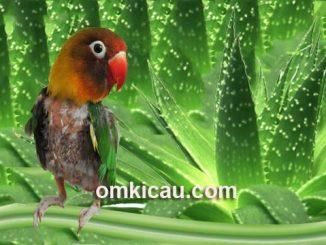 Tips mengatasi burung yang gemar cabut bulu dengan jus lidah buaya