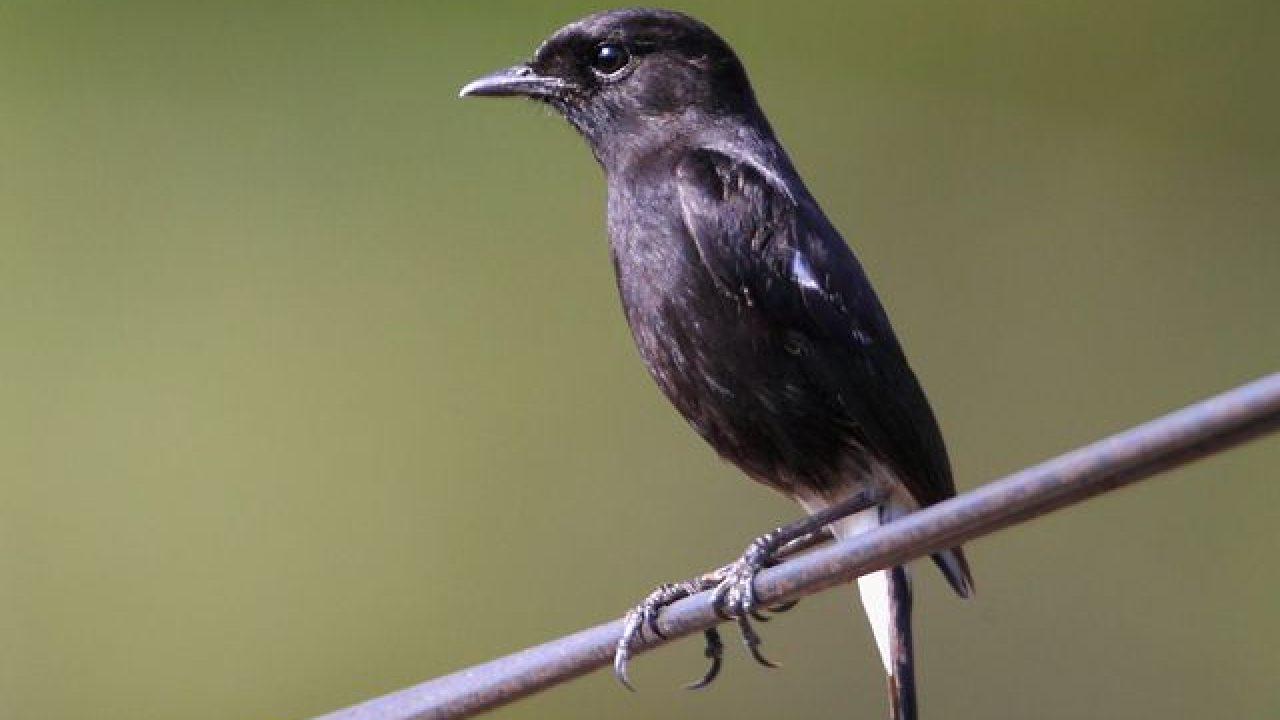 Cara Merawat Burung Decu Belang Agar Makin Gacor Om Kicau