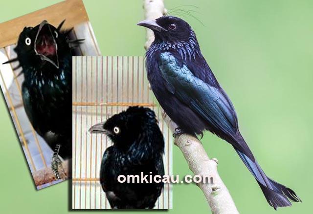 Cara merawat burung srigunting jambul-rambut