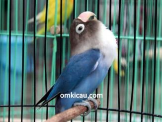 Perawatan harian lovebird biru untuk lomba
